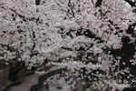 20130326二ケ領用水サクラ04