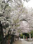 20130326稲毛神社サクラ01