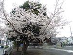 20130327新城神社サクラ01