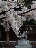 20130327新城神社サクラ02