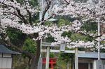 20130325白山神社定点観測枝02