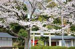 20130326白山神社定点観測枝03