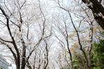 20130326白山神社桜トンネル03