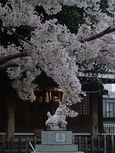 20130328新城神社サクラ02