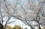 20130328白山神社観察枝02