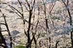 20130328白山桜トンネル02