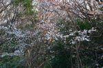 20130328白山むじなが池山桜06