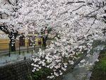 20130328麻生川のサクラ01