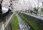20130328麻生川のサクラ02