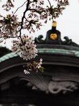 20130331新城神社サクラ05