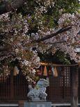 20130401新城神社サクラ01