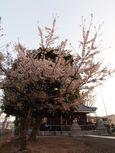 20130401新城神社サクラ03