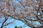 20130401白山神社定点観測枝04