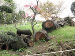 20130401黒川樹齢400年山桜01