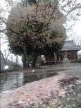 20130403新城神社サクラ02