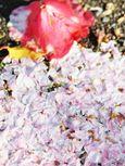 20130404新城神社サクラ06