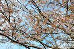 20130404白山神社定点観測枝01