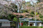 20130404白山神社定点観測枝03