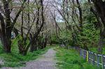 20130404白山神社桜トンネル01