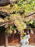 20130405新城神社サクラ01