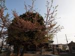 20130405新城神社サクラ04
