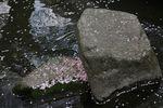 20130405二ケ領用水サクラ03