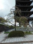 20130406香林寺シダレザクラ01