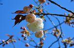 20130407白山神社八重桜白03