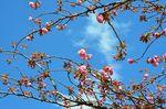 20130407白山神社八重桜白06