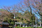 20130407白山神社定点観測枝04