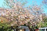 20130411白山神社八重桜白01
