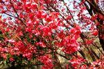 20130317布田_多摩川土カンヒザクラ02