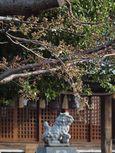 20130319新城神社サクラ05