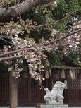 20130320新城神社サクラ01