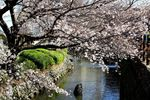 20130321二ケ領本川サクラ04