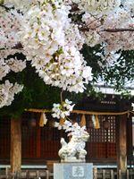 20130323新城神社サクラ02