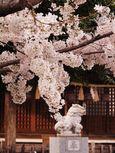 20130324新城神社サクラ01