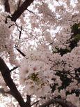20130324新城神社サクラ03