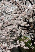 20130324二ケ領本川サクラ08