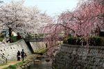 20130324二ケ領橋本・台和橋サクラ01