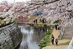 20130324二ケ領橋本・台和橋サクラ02