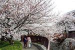 20130324二ケ領橋本・台和橋サクラ04
