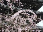 20130326香林寺シダレザクラ02