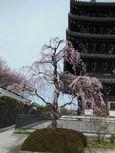 20130326香林寺シダレザクラ01
