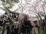 20130326稲毛神社サクラ03
