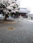20130327新城神社サクラ06
