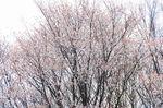 20130326白山むじなが池山桜01