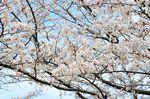 20130326白山神社定点観測枝02