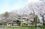 20130326白山神社定点観測枝04