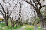 20130326白山神社桜トンネル02